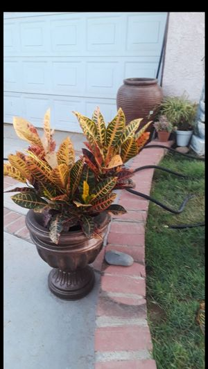 Seasonal plant for Sale in Riverside, CA