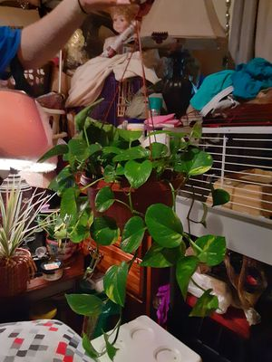 Beautiful house plant in handing pot for Sale in Murfreesboro, TN