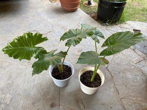 Oreja de elefante ( planta ) for Sale in Dallas, TX
