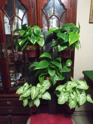 Plantas de sombra naturales en linda base grande de madera mide 18x32 inches for Sale in Bell, CA