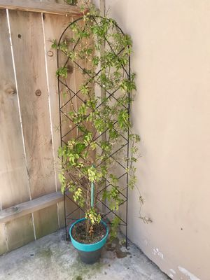 Potted Jasmine Plant with Metal Trellis for Sale in San Diego, CA