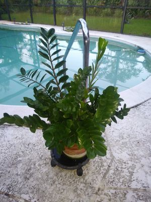Lucky Plant for Sale in Plantation, FL