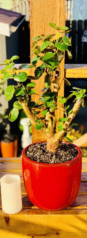 Live indoor Fabian Aralia house plant tree in a ceramic planter flower pot—firm price for Sale in Seattle, WA