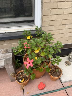 Large Hibiscus plant in pot for Sale in New York, NY