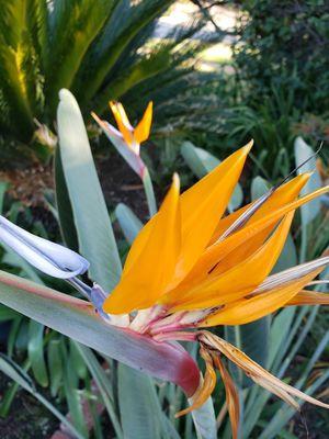 Orange Bird of Paradise Plant for Sale in Sierra Madre, CA