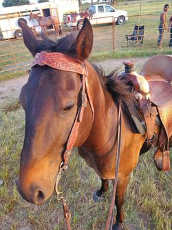 Papered gelding & one hand broke mare for Sale in Whitney,  TX