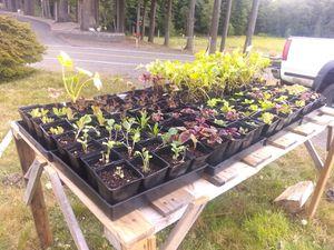 Kale & chard starts for Sale in Montesano, WA