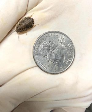 Dubia roaches for Sale in Los Angeles, CA