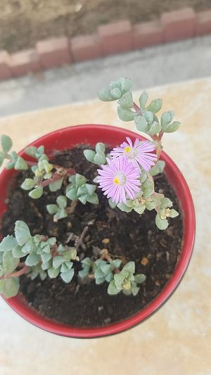 Pink iceplant succulent for Sale in Downey, CA