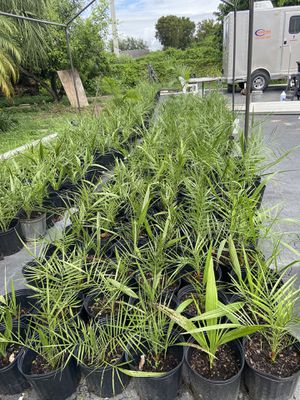Phoenix Sylvester Palms Trees : 3 gal pots for Sale in Homestead, FL