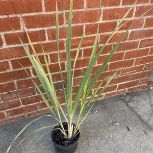 LEMON GRASS PLANT TE DE LIMON $10 Dollars for Sale in Whittier, CA