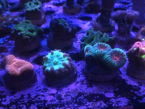 Coral Frags for Sale in Hialeah, FL