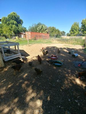 Young Roosters for Sale in Gilbert, AZ