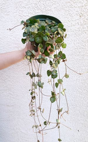 String Of Hearts Live Plant for Sale in Las Vegas, NV