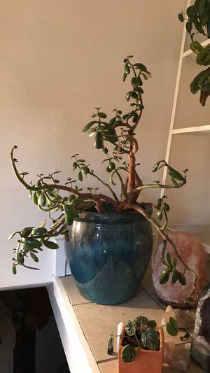 Old Jade Plant for Sale in Denver, CO