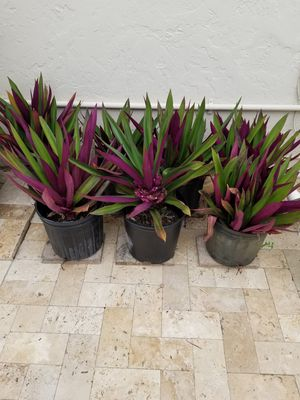 Purple ground cover for Sale in Fort Lauderdale, FL