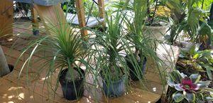 Ponytail Palms for Sale in Dania Beach, FL