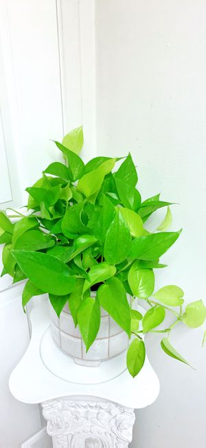 "Neon Pothos Plants - 6"" Container - Planter Not Including for Sale in Garden Grove, CA"