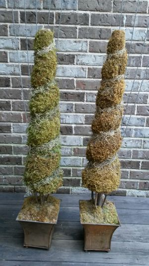 Conical Shaped Topiary for Sale in Houston, TX