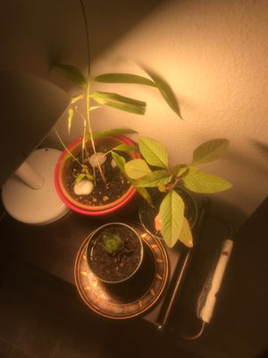 Plants including one succulent baby and a bamboo plant which is said bring good luck for Sale in Portland, OR