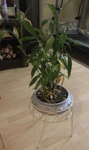 Lucky bamboo plant for Sale in Apopka, FL