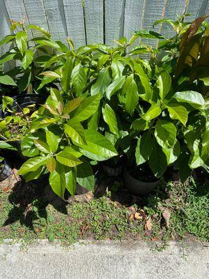 Avocado plants for Sale in Lake Wales, FL