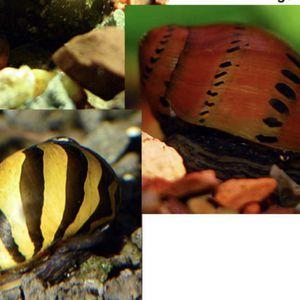 2 Freshwater aquarium Snails for Sale in Everett, WA