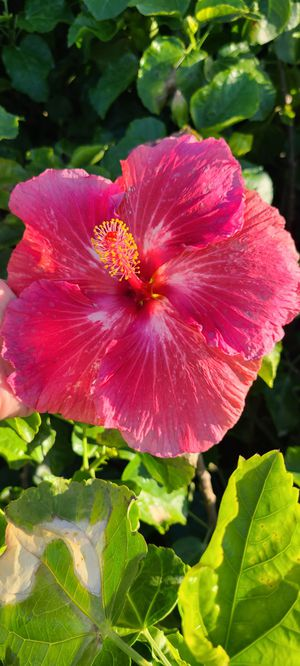 Hibiscus plant that gives big flowers. for Sale in City of Industry, CA