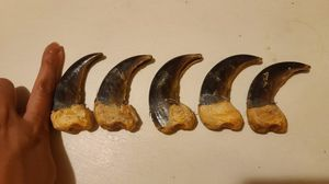 brown bear claw for Sale in Anchorage, AK