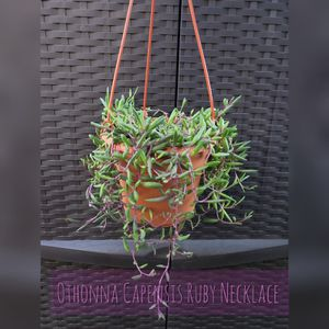 Othonna Capensis 'Ruby Necklace' Succulent Plant for Sale in Westminster, CA