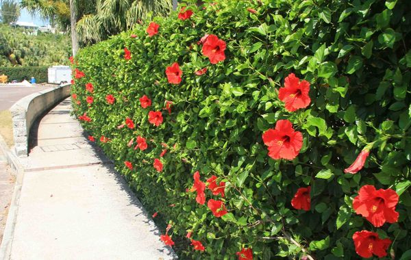 Hibiscus Bushes Free,