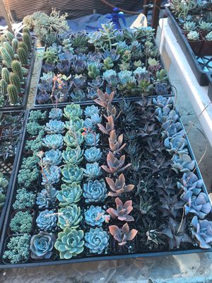 Succulents for Sale in Industry, CA
