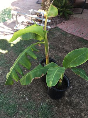 Icecream banana tree for Sale in Mesa, AZ