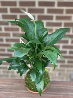 Peace Lilly Kokedama house plant for Sale in Philadelphia, PA