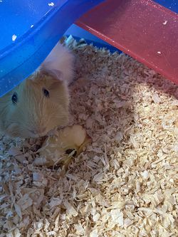 guinea pig cage/ comes with pet if you like for Sale in Clinton Township,  MI