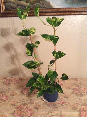"""33"""" Organic Homegrown Pothos Plant - Epipremnum Aureum Air Purifier Plant in a pot. for Sale in Austin, TX"""