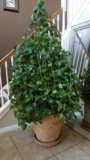 Plant with stone planter for Sale in Kissimmee, FL