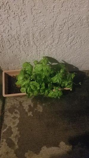 Basil for Sale in Rancho Cucamonga, CA