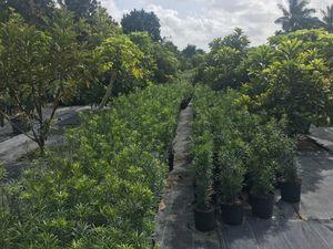 Podocarpus for Sale in FL, US