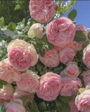 Single stem Eden Climbing Rose for Sale in Berwyn Heights, MD