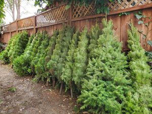 Fresh Cut Christmas trees !!! for Sale in San Jose, CA