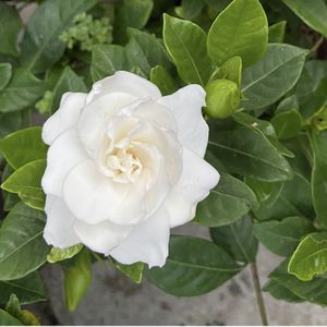 Gardenia Or Cape Jasmine Plant With Rossy White Flowers In 5 Gallons Pot for Sale in Garden Grove, CA