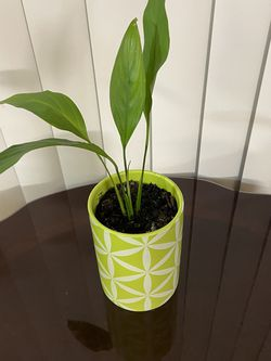 Indoor Plant for Sale in Tigard,  OR