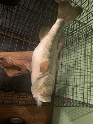 """""""Fake"""" 6lb Largemouth Bass for Sale in Red Oak, TX"""