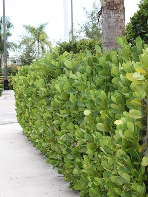 Beautiful Clusia hedge for Sale in Homestead, FL