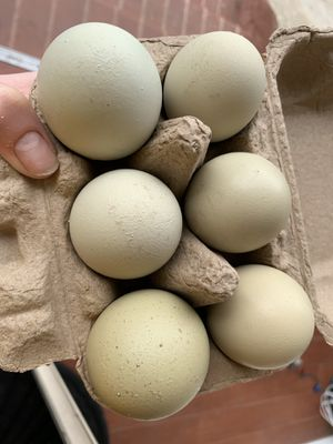 Olive Egger eggs - Fertile! for Sale in Pomona, CA
