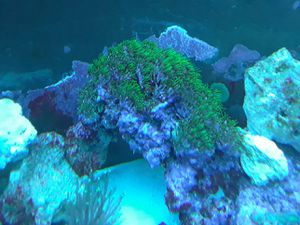 Coral Colony Frags for Sale in Sunrise, FL