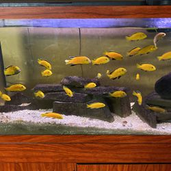 Fish , Cichlid , Yellow Lab , Large for Sale in Columbus,  OH