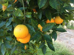 Fresh Valencia oranges for Sale in Escondido, CA