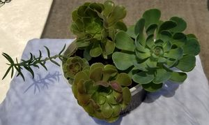Three different succulents for Sale in Fresno, CA